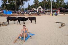 Sacred cows on the beach