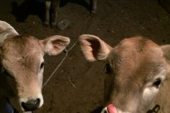 Calves in thirst for blood